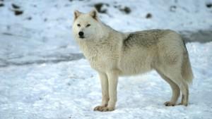 1475433308_864_curiosidades-sobre-los-lobos