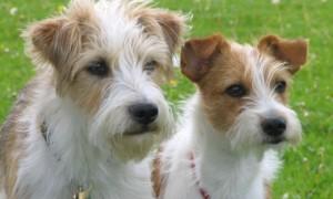 Razas: Kromfohrlander, perro desnudo mejicano y pug