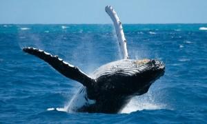 Las 10 ballenas más grandes del planeta