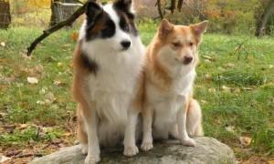 3 de los mejores perros pastores