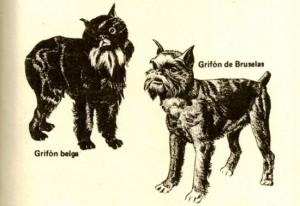 grifon-belga2