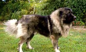 Perros pastores rusos