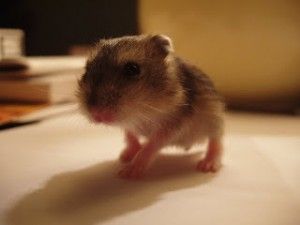 hamster-cria