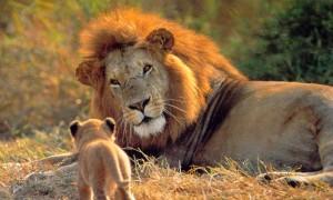 Conociendo al león, el rey de la selva