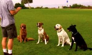 Adiestramiento canino introduccion