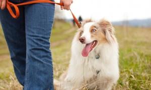 Enseñar a tu perro a caminar sin tirar de la correa