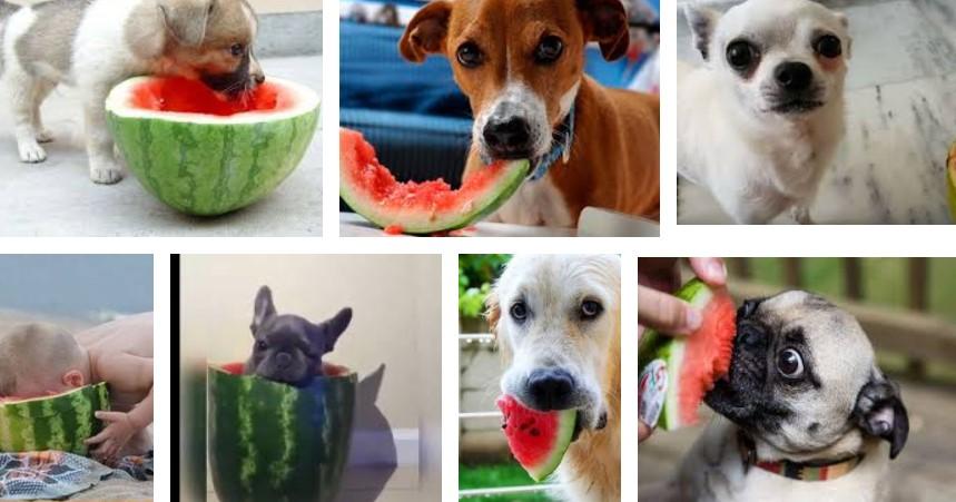 perros-comer-sandia