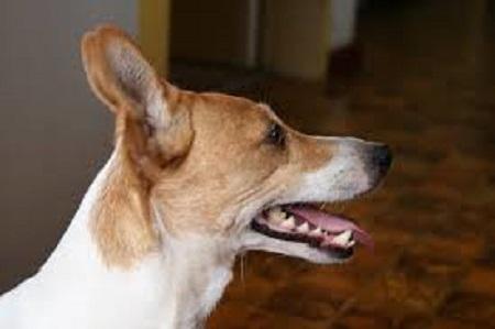 Como-limpiar-las-orejas-de-un-perro