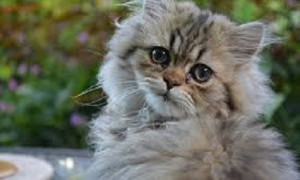 Baña a tu gato persa fácilmente