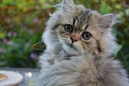 baña-a-tu-gato-persia