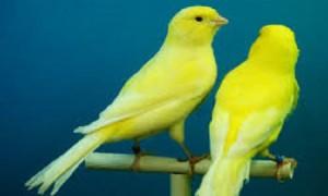 Sencillos pasos para curar las patas de un canario