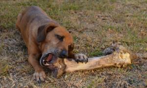 Los perros pueden comer huesos de pollo
