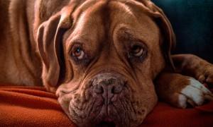 Tratamiento de la depresión en perros, signos, síntomas