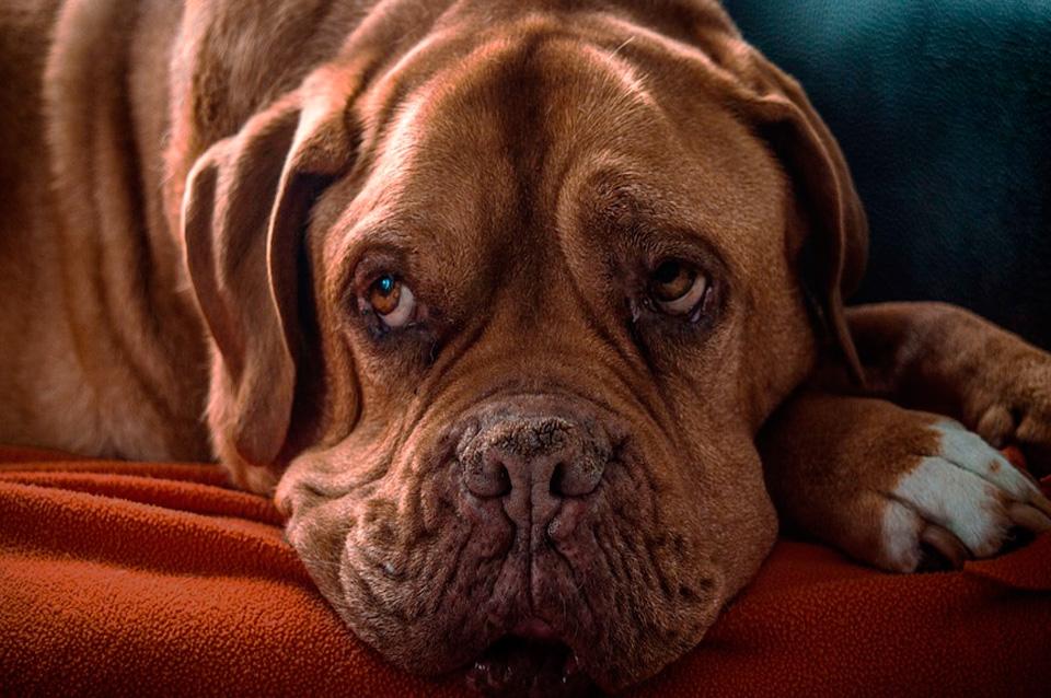 mi-perro-esta-deprimido-que-hago