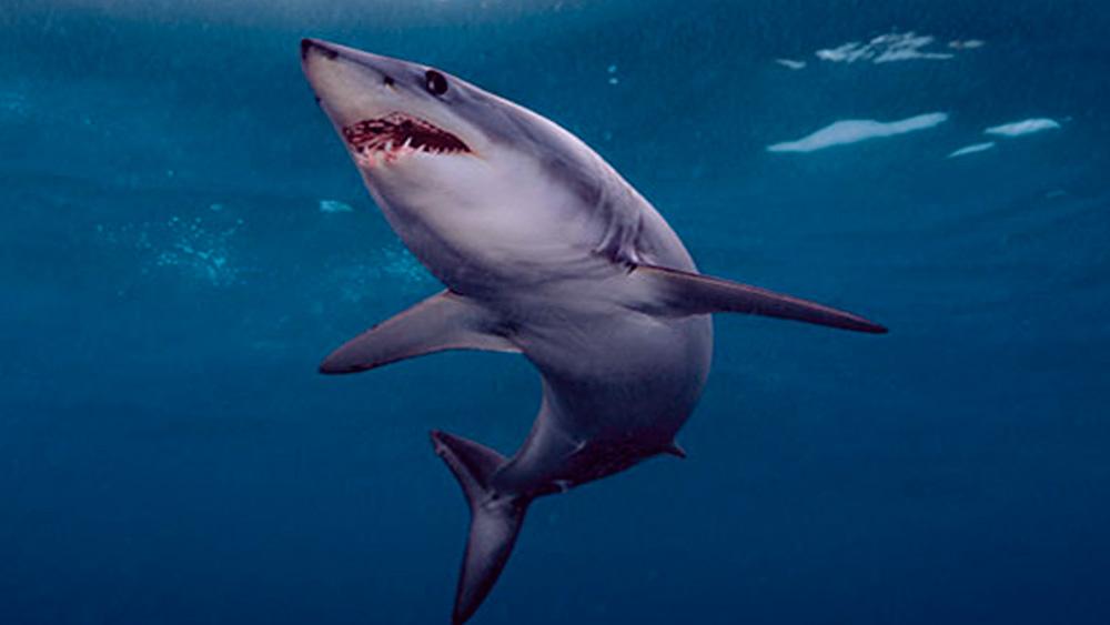 tiburon-mako-petcentral