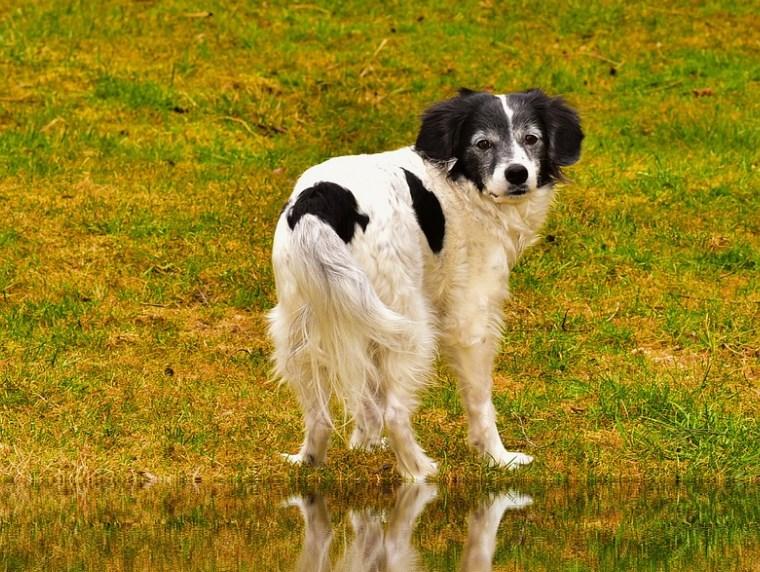 calvicie en los perros
