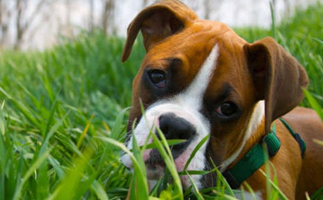 Por qué los perros comen pasto