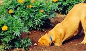 ¿Por qué mi perro cava en el jardín?