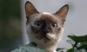 Gato birmano; Cuidados y Comportamiento