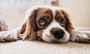 Convulsiones en perros; Causas y Tratamiento
