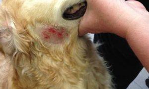 Dermatitis canina: todo lo que debes saber