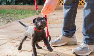 Consejos para entrenar un pitbull