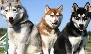 ¿Cuáles son las razas de perros que más sueltan pelo?