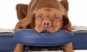 Masoterapia para perros, lo que debes saber