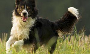 ¿Es cierto que los border collie son perros fáciles de entrenar?