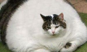 Obesidad en gatos: todo lo que debes saber