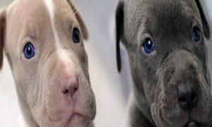 ¿Es verdad que los pitbull son perros peligrosos?