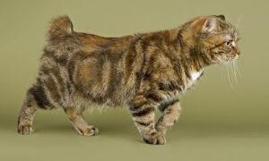 El Cymric, el gato raro originario de la Isla de Man