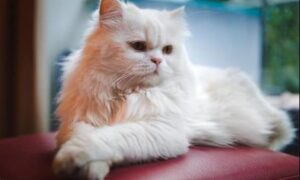 El Gato persa, compañero ideal para la familia