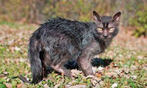 El Lykoi, el gato que parece un hombre lobo