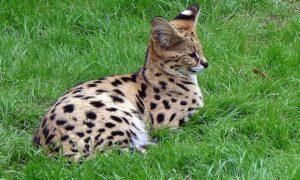 El Savannah, un gato descendiente del guepardo