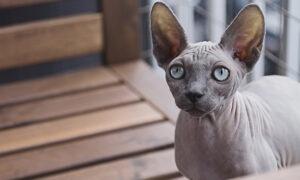 El Sphynx, un gato sin pelo como ningún otro