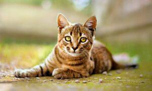 El Toyger, el gato tigre