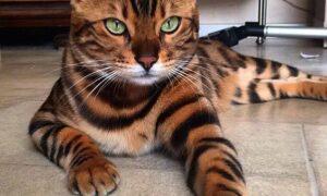 El gato de Bengala, un felino hermoso
