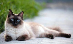 El siamés, el más famoso de los gatos domésticos