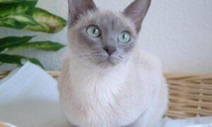 El tonquinés, un gato curioso y divertido