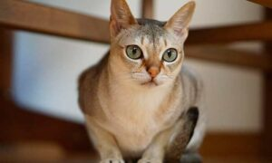 Singapura, gato único por su pequeño tamaño