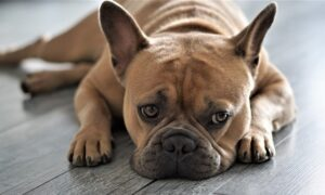 Las transformaciones del Bulldog Francés y el daño a su salud que se le a provocado