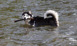 Perro contra lobo: este animal es el más social de los dos