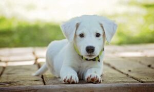 Comercio de cachorros el pésimo negocio en la pandemia de la corona
